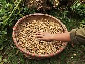 sklizeň arašídů