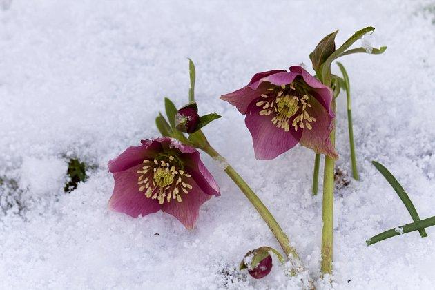 Čemeřice (Helleborus) rozkvétá už v zimních měsících.