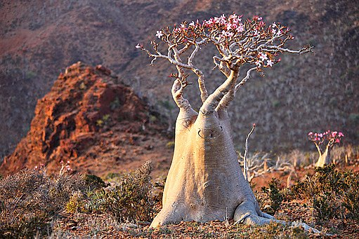 V horkých pouštích dorůstá pouštní růže (Adenium obesum) úctyhodných rozměrů