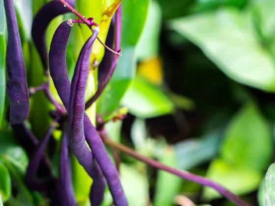 Variety s fialovými lusky jsou atraktivní, lusky se navíc snáze hledají