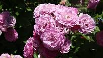 Sadová růže, odrůda Geschwind´s Nordla