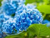 Modře kvetoucí hortenzie.