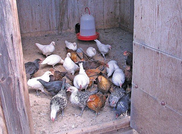 Tříměsíční kuřata