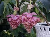 Medinila je exotická rostlina pro zkušené pěstitele.