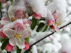Pozdní mrazíky mohou květům hodně uškodit