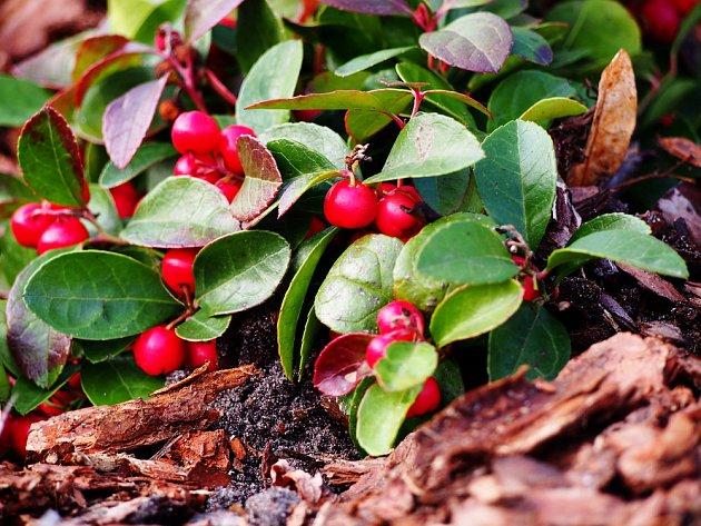 Libavka polehlá (Gaultheria procumbens) patří v našich podmínkách k nejpěstovanějším