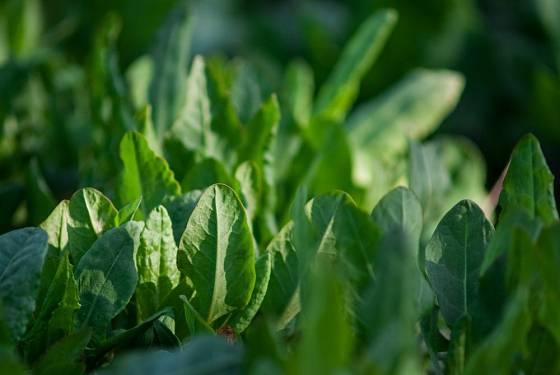 Šťovík zahradní (Rumex patientia)