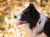 Rozsáhlým studiím psího chování a inteligence psů se zabýval psycholog Stanley Coren.  (border kolie)