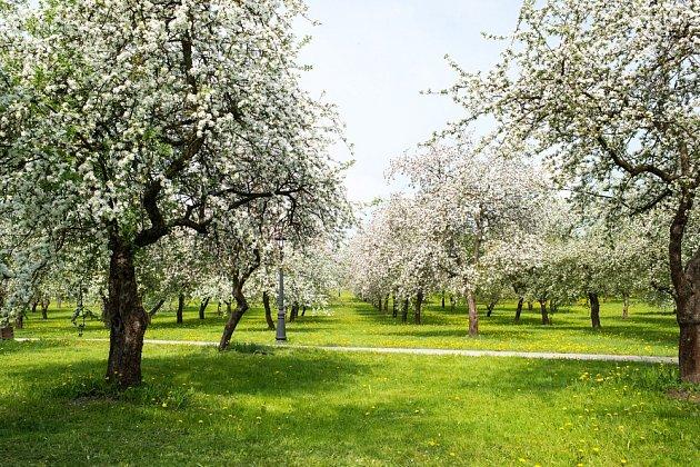 Ovocné stromy nakvétají během krátké doby
