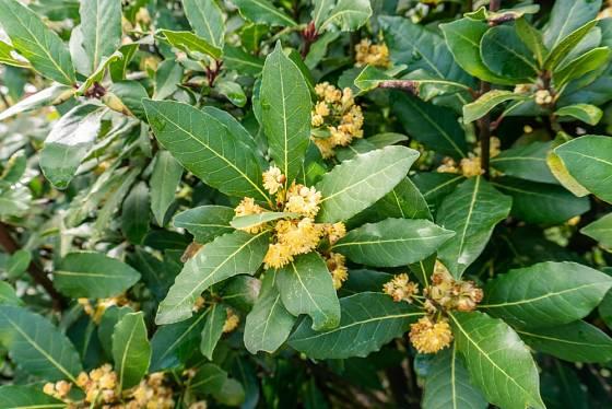 Sušené listy vavřínu vznešeného používáme při vaření pod označením bobkový list.