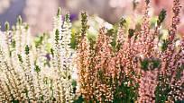 Vřes můžeme pěstovat v řadě zahradních kultivarů