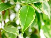 Jen pokojová rostlina se zdravými listy je krásná.