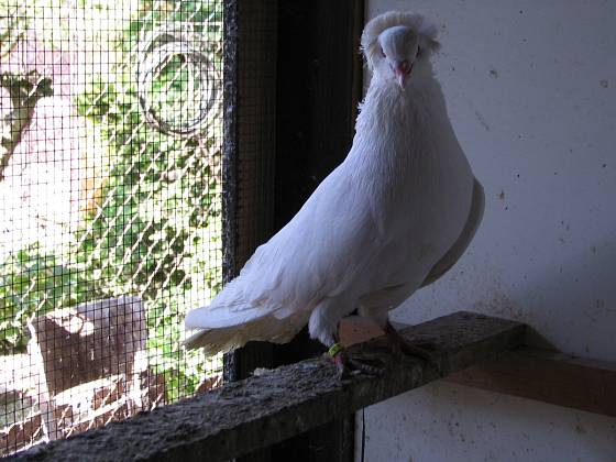 Montaubánec je starobylé a vzácné plemeno holuba