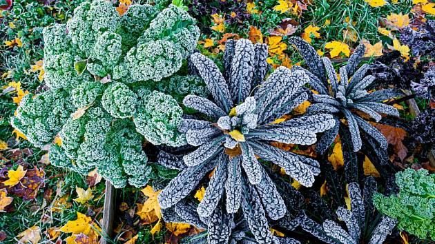 Kadeřavá kapusta patří mezi mrazuvzdornou zeleninu a můžeme ji ponechat na záhonech.