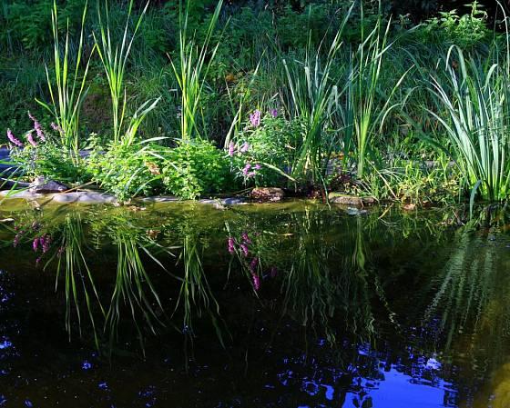 Rostliny koření ve mělčině, koupeme se v hlubší části jezírka
