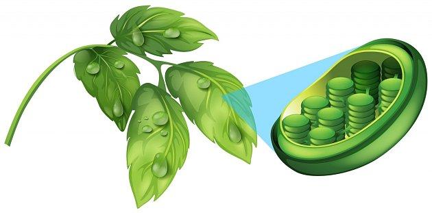 Takto vypadá vnitřní uspořádání chloroplastu