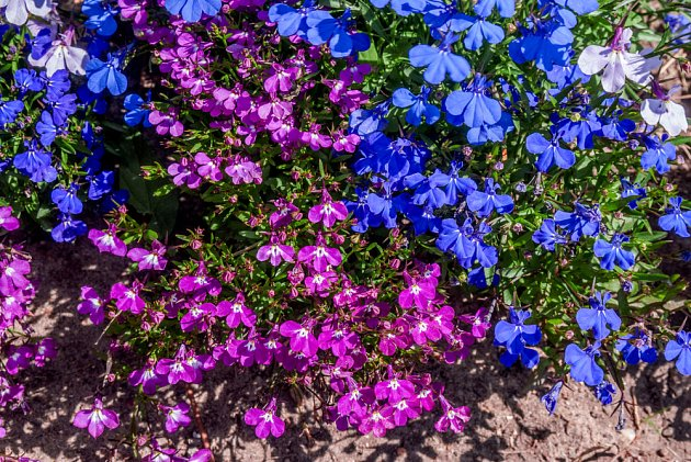 Rostliny nízkého vzrůstu, jako jsou například lobelky, vás svým pylem neohrozí.