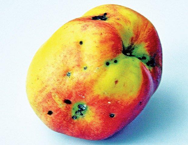 jablko napadené molovkou jablečnou