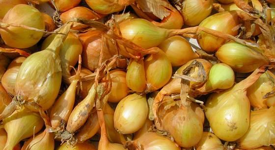 Očištěné cibulky, šalotka staré odrůdy Kotké hagyma