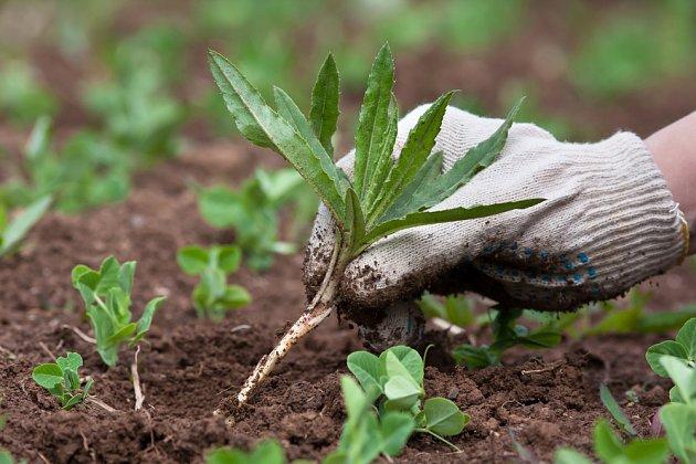 Důležité je odstranit všechny části plevelných rostlin.
