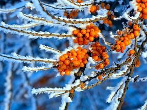 Větvička rakytníku v zimě.