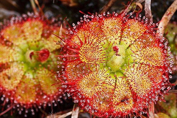 masožravá rostlina rosnatka