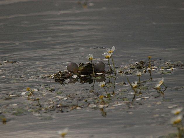 Lakušníky poskytují skvělý úkryt rybám, rybímu plůdku, žábám a dalším živočichům.