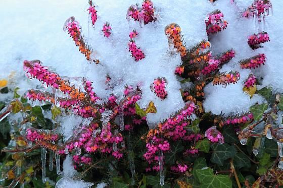 Otužilý vřesovec pleťový kvete i v zimě