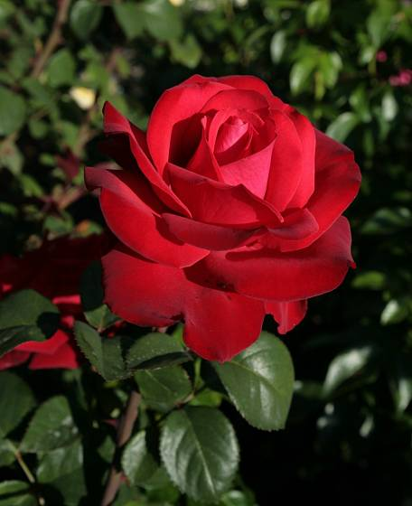 Velkokvětá růže Grande Amore