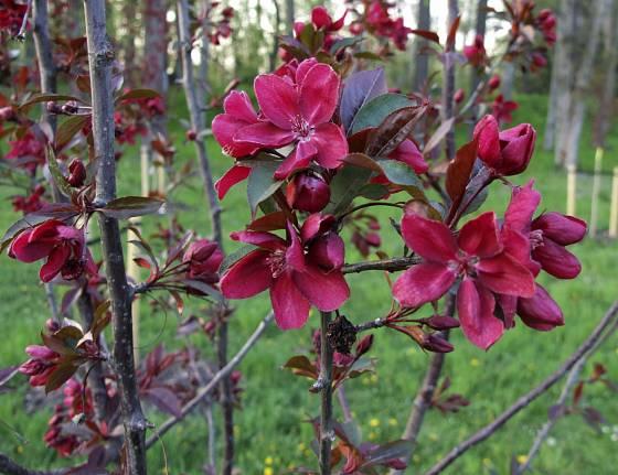 Červenolistá okrasná jabloň je atraktivní nejen v době květu