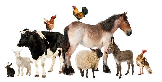 Smutná pravda je, že dopování zvířat drahými antibiotiky se ekonomicky vyplatí na přírůstcích.