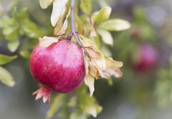 Granátovník a zralé granátové jablko