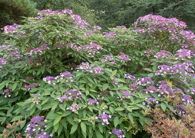 Hortenzie drsná (Hydrangea sapera)