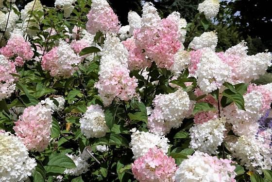Hydrangea paniculata - hortenzie latnatá