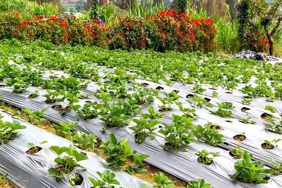 Jaká byla vaše letošní úroda jahod?