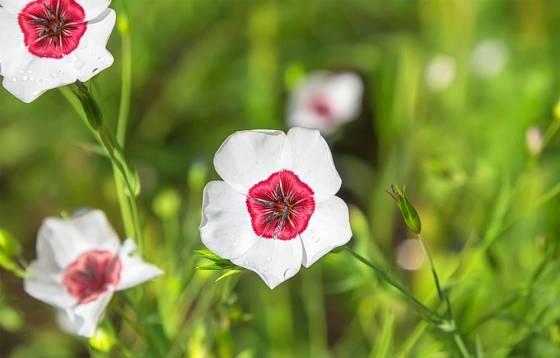len velkokvětý dnes můžeme pěstovat v řadě nádherných variet