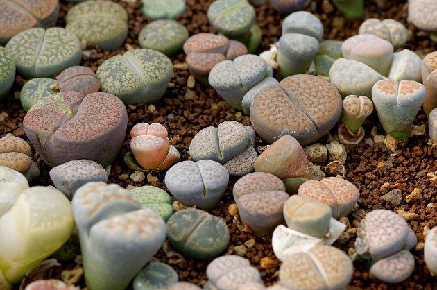 Živé oblázky rostou pod zemí a na povrchu mají pouze vrcholky listů