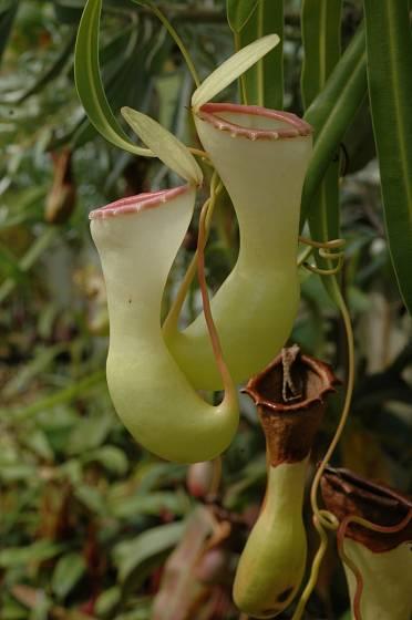Masožravá láčkovka Nepenthes ventricosa