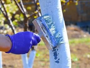 Tradiční ochranou je natření kmenů a případně i silnějších větví vápnem s vodou.