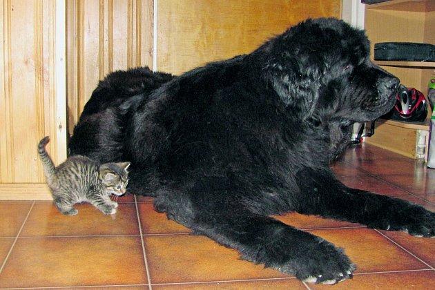 Novofundlandský pes pohlídá nejen malé děti, ale i kočky.