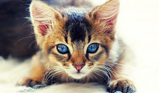 divoce zbarvená somálská kočka (ruddy)