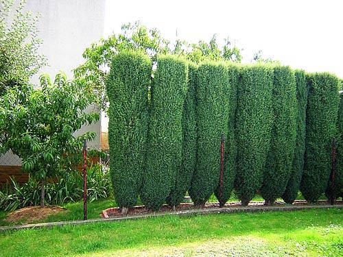 Tuje nejsou pro menší zahrady příliš ideální.