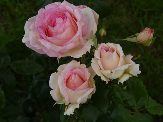 Růže odrůdy Souvenir de Baden-Baden