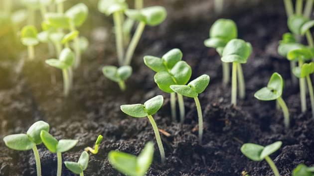 Semenáčky bazalky v teple rostou rychle
