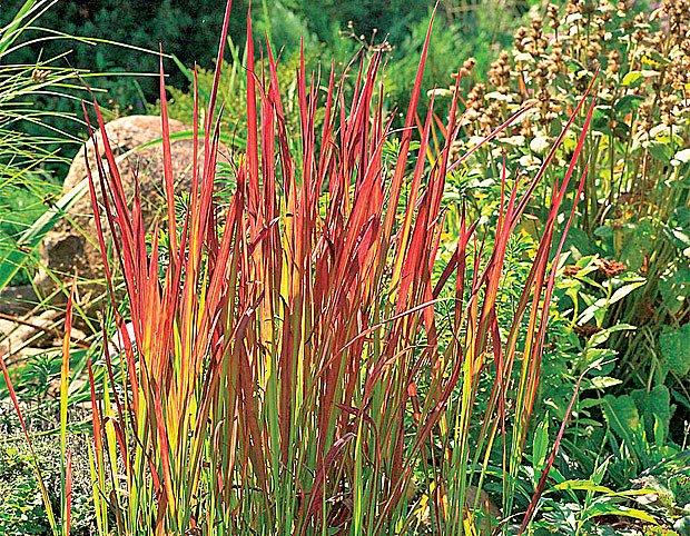 Červenolistý kultivar imperáty válcovité Red Baron rozzáří vodní břeh. Pozor, často namrzá.