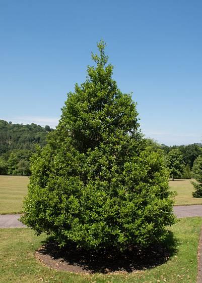 cesmína ostrolistá (Illex aquifolium) Pyramidalis