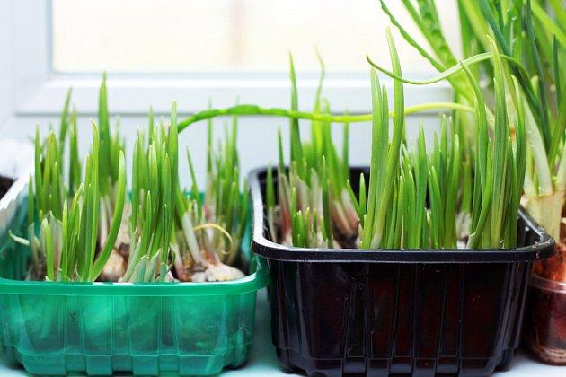 Narašený česnek můžeme úspěšně pěstovat i na okenním parapetu.