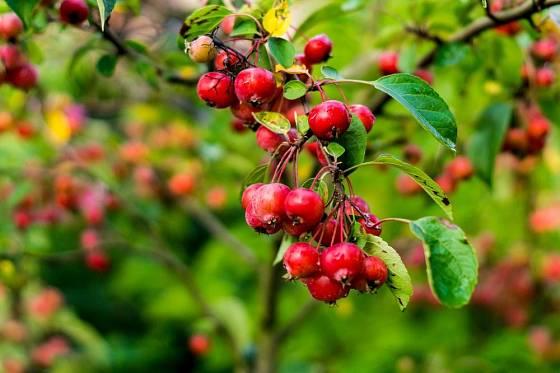 Jabloň toringo, Malus toringo