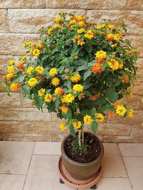 Lantanu lze i v našich podmínkách přezimovat a pěstovat ji jako stromek.