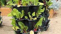 Mangold můžete pěstovat i ve speciálních nádobách.